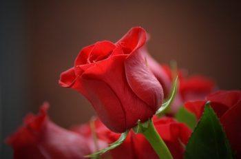 Цветок розы. Изображение Moshe Harosh